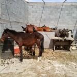 Descubren en Torreón un rastro clandestino donde se sacrificaban asnos y equinos.